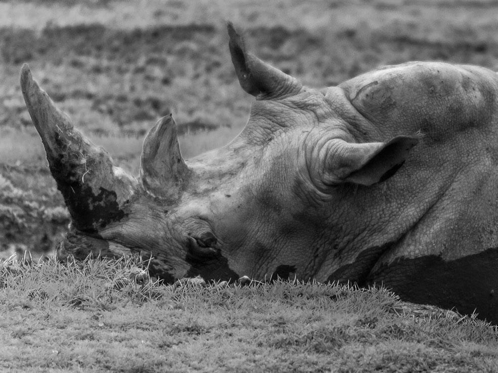 Rhino Nola Feature