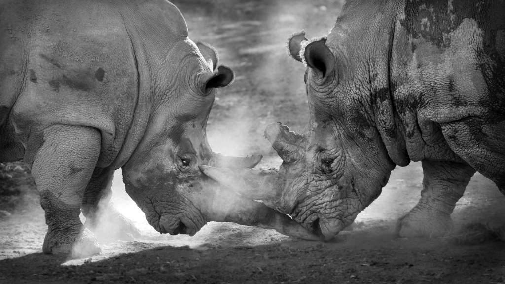 Rhinos-Fighting-1024×576