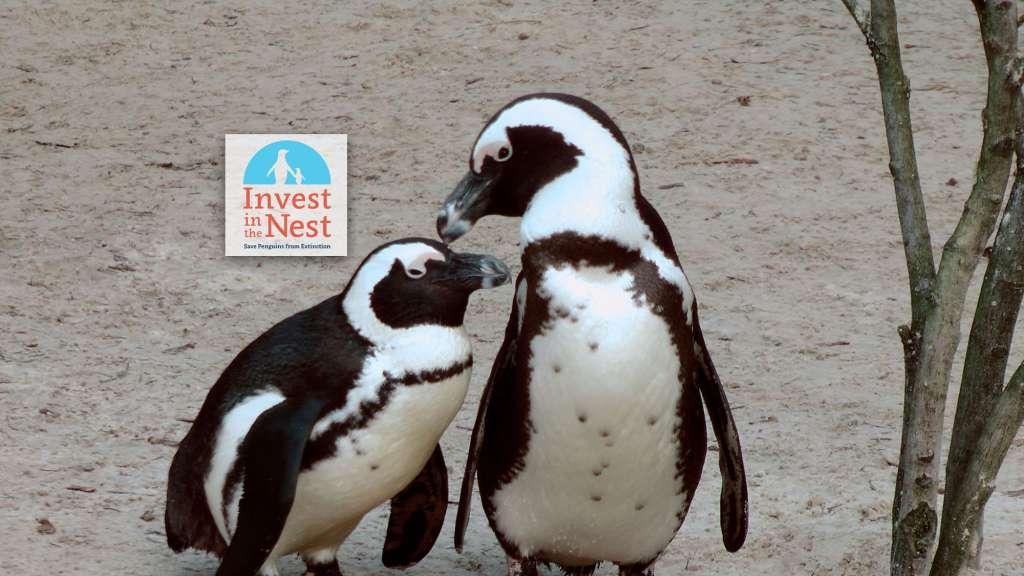 African-Penguins-1024×576
