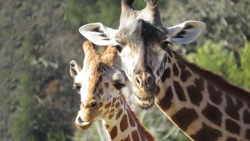 Giraffes-taxonomy-1024×576