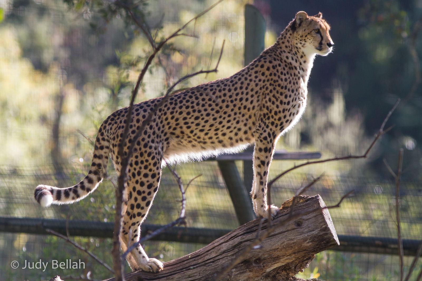 Adopt the cheetah