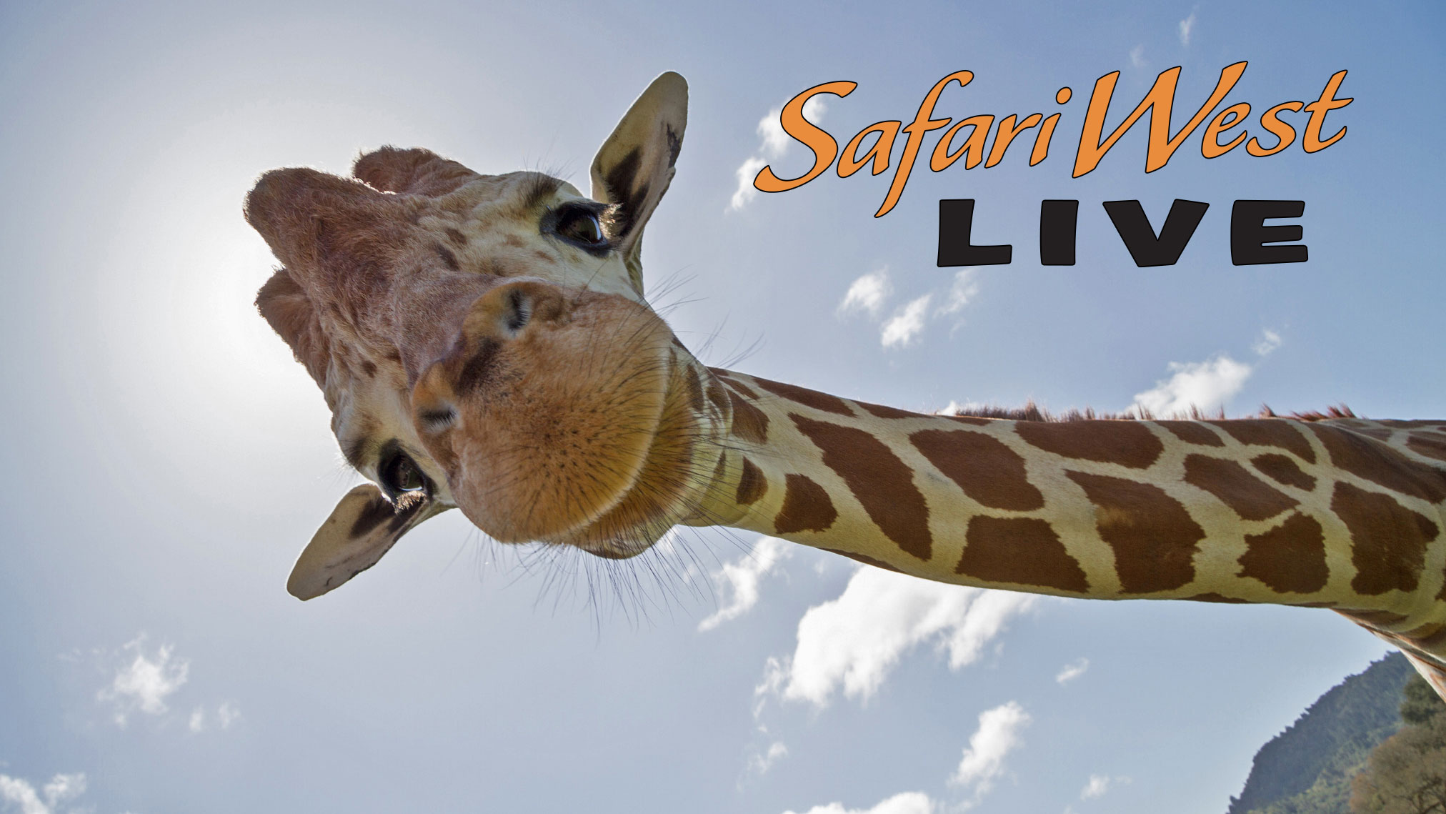 Safari West Live with Giraffe
